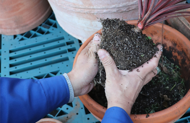 大き目の植木鉢に植え替えるのもいいでしょう